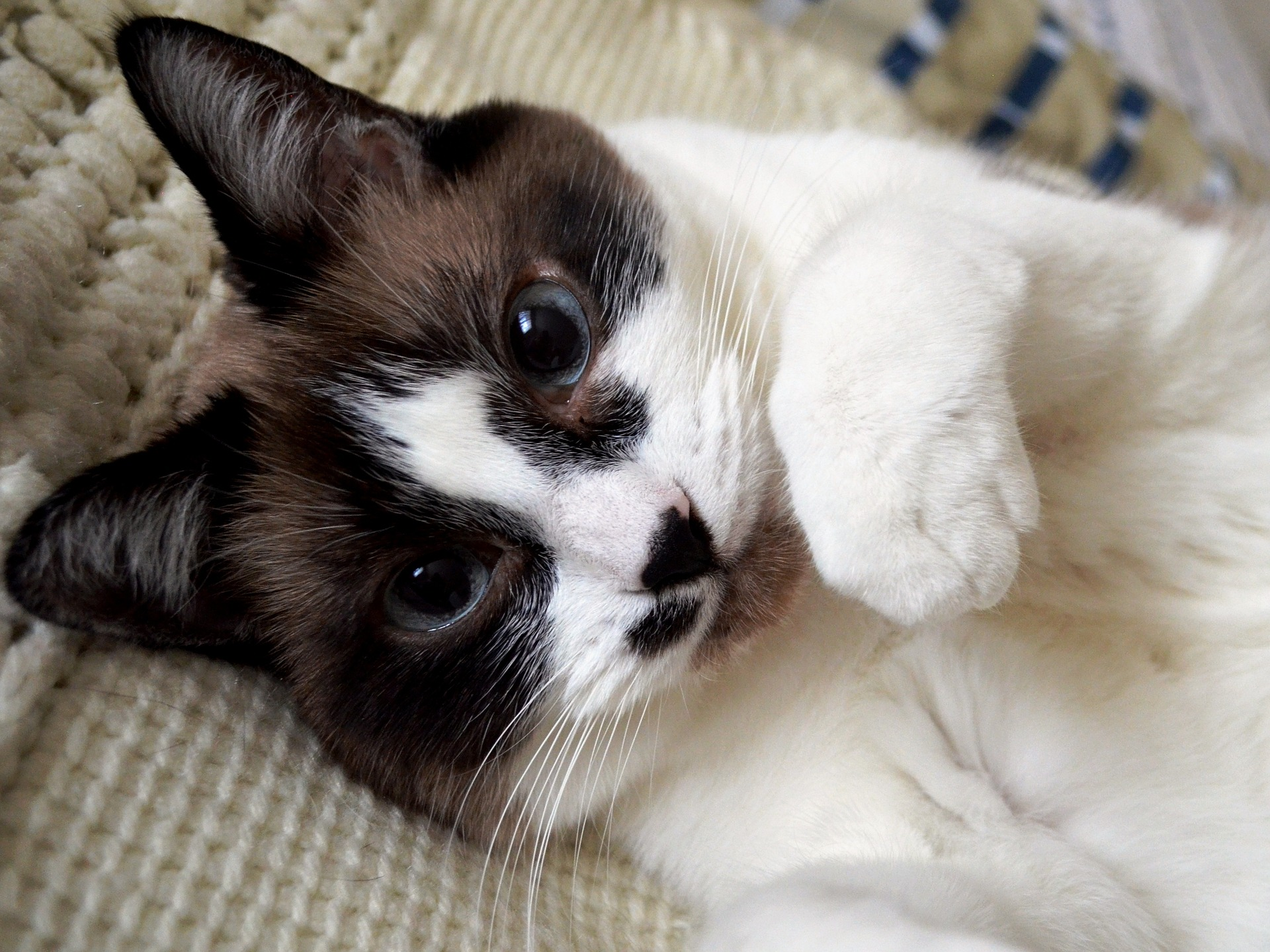Are Siamese Mix Cats Good Pets