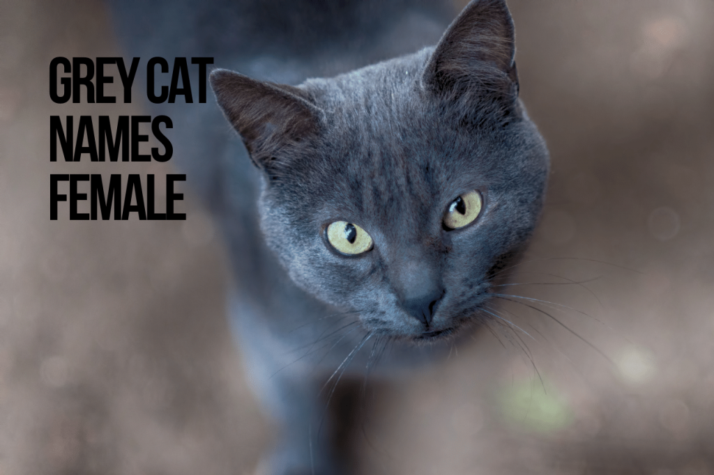 Grey Cat Names Female
