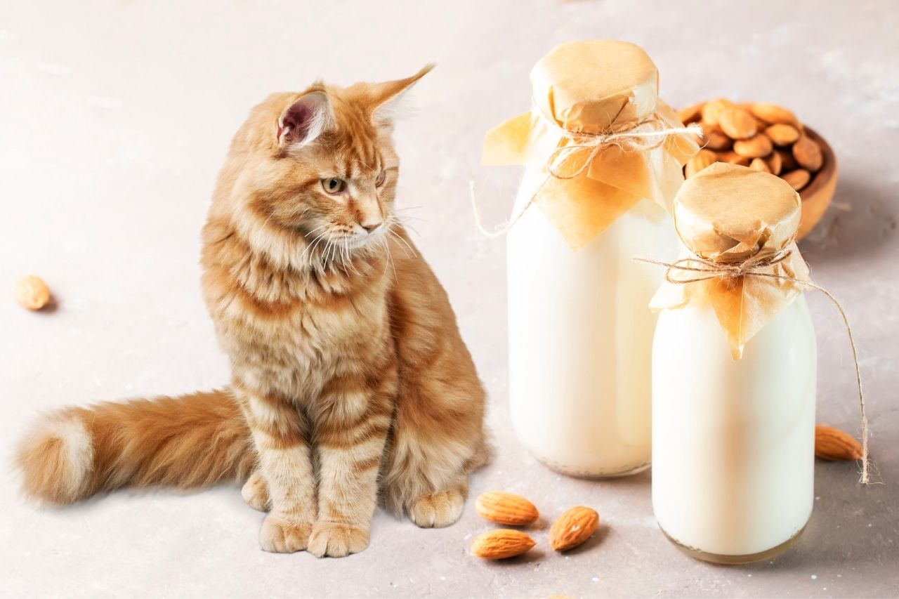 Can Cats Have Almond Milk